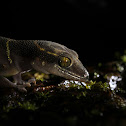 Deccan Ground Gecko
