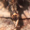 AntLion Larvae