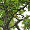 Wilson's warbler, female