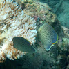 Speckled (spotted) butterflyfish