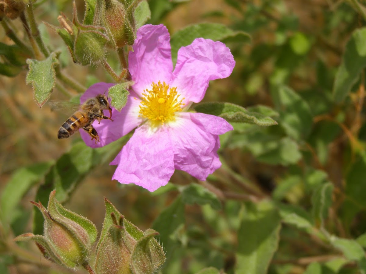 Honeybee on rockrose