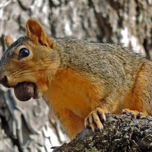 A Squirrel and an Acorn I.jpg