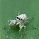 眼鏡黑條蠅虎  Phintella versicolor