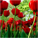Spring Tulips icon