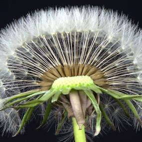 A Dandelion by Steve Edwards - Nature Up Close Other plants ( dandelion, other plants, nature up close, flower,  )