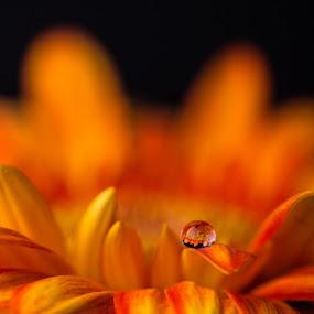 drop on the flower by Alexander Kulla - Flowers Single Flower ( macro, drop, pflanze, blume, makrofotografie, makro, gerbera, flower,  )