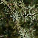 Enebro de la miera, Prickly Juniper