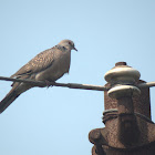 Spotted dove