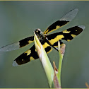 Common Picture Wing Dragonfly