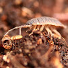 Woodlice, Pillbugs