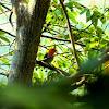Burung Cabai Jawa, Scarlet-headed Flowerpecker