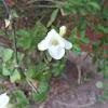 Creeping Foxglove/ Asystasia