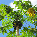 Papaya infested with Coconut Rhino Beetle