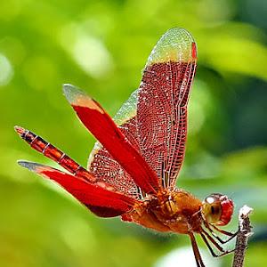 Red Dragonfly.JPG