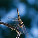 Vagrant Darter Female