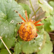 Ohio Arachnids