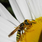 pacific digger wasp or beewolf