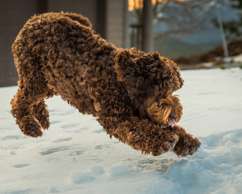 Doodle vs. Snow by Adam Collins - Animals - Dogs Playing ( australian labradoodle, trotting, labradoodle, mid air, snow, dog, snow play, chocolate labradoodle )