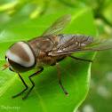 Horse-fly