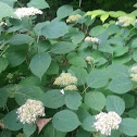 Wild Smooth Hydrangea or Sevenbark