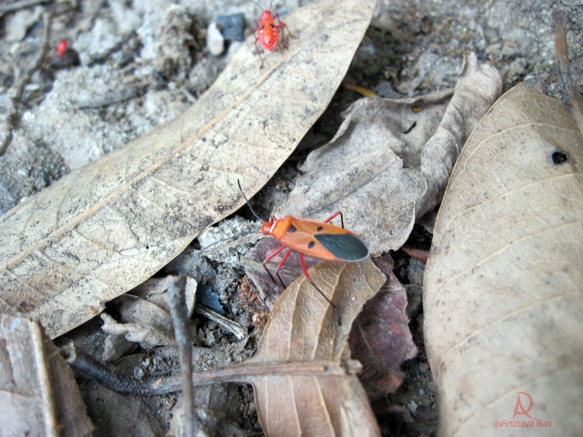 Red Cotton Bug and Nymph