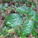 Zarza o Zarzamora - Wild blackberry