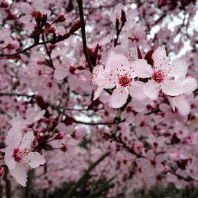 February Plums by Justin Murazzo - Flowers Tree Blossoms ( warm, santa rosa, bright, states, beauty, spring, coast, blossom, sky, norcal, tree, full, happy, twig, stamen, annadel, pink, upbeat, positive, flower, covered, united, howarth, park, purple, california, beautiful, lake, gray, plum, northern, fruitless, winter, magenta, february, branch, day, west, daylight, renewal, green, trees, forests, nature, natural, scenic, relaxing, meditation, the mood factory, mood, emotions, jade, revive, inspirational, earthly,  )