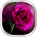 Pink Rose Live Wallpaper
