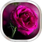 Pink Rose Live Wallpaper icon