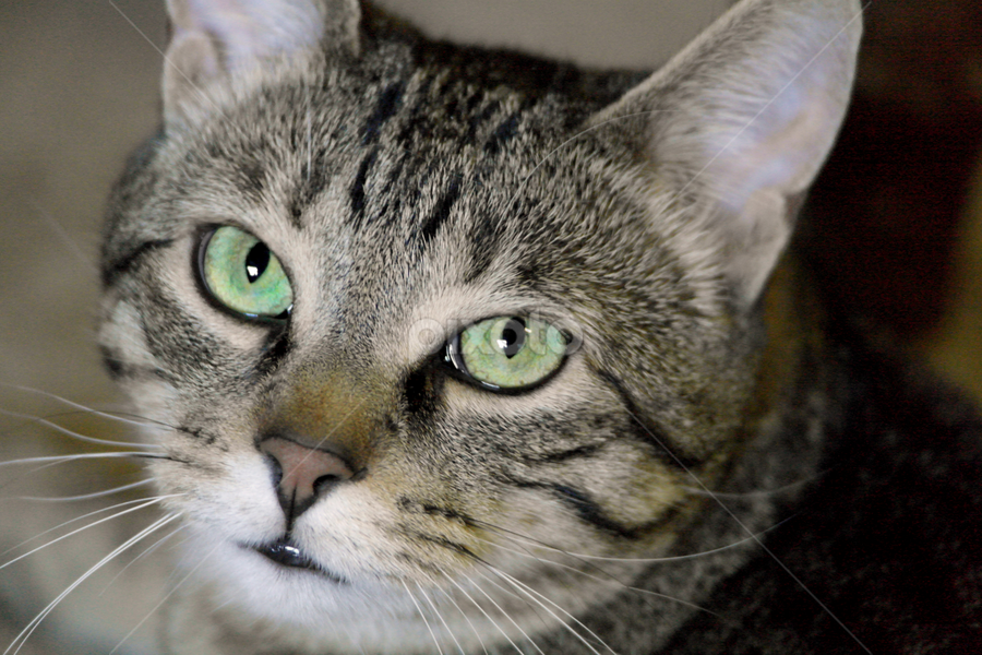 Cleo by Deanna Ramsay - Animals - Cats Portraits ( cat, cat face, green eyes, tabby, whistkers )