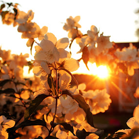 Jasmine by Erika Lorde - Flowers Tree Blossoms ( midnightsun, sweden, warm, sunsets, summer, glowing, flowers, golden )