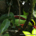 Green Magpie