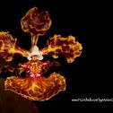 Mule Ear Orchid