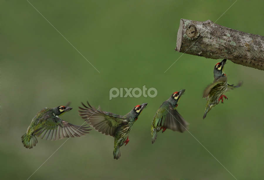 Barbet in flight by Ken Goh - Animals Birds
