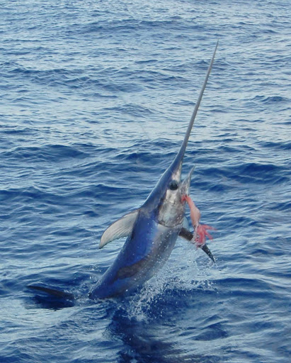 Florida-Keys-swordfish-line - A swordfish on the line in the Florida Keys.
