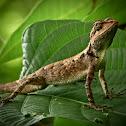 Sarada, Oriental Garden Lizard