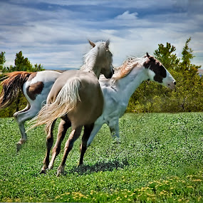 Two Horses Running by Sandy Friedkin - Animals Horses ( field, two horses, palamino, pinto, running,  )