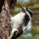 Carpintero o pico velloso (Hairy Woodpecker)