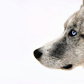 by Chrysta Rae - Animals - Dogs Portraits ( canine, sled dog, blue eyed dog, winter dog, husky, puppy, dog,  )