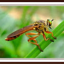 Green eyed robber fly