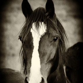 Black Beauty by Mandy Jervis - Animals Horses ( equine, riding, pet, horse, leisure, beauty, mammal, black, animal )