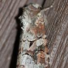 Striped Caterpillar Garden Moth