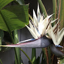Giant White Bird of Paradise