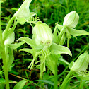 Limpricht's Rein Orchid