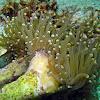 Joker Coral