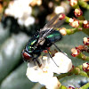 Mosca verde, Common green bottle fly
