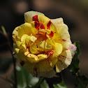 Rose Hybrid