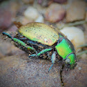 Common ChristmasXGreen Christmas Beetle