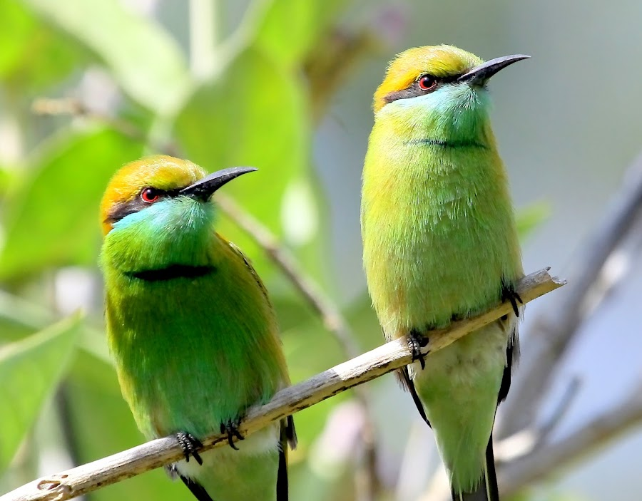 Green Bee-eaters by S Balaji - Animals Birds ( s.balaji, wild, animals, nature, style, green bee-eaters, birds,  )