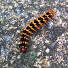 Great Eggfly Caterpillar